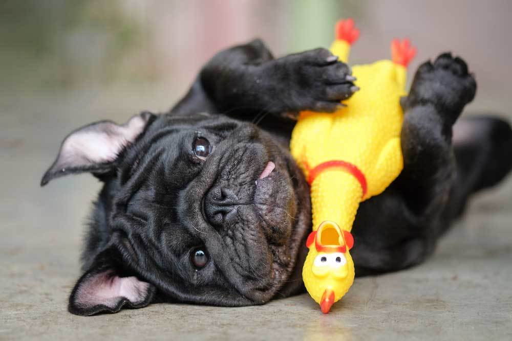Boston Terrier playing with rubber chicken
