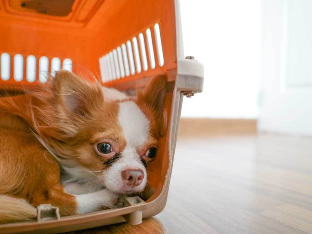 Chihuahua in travel crate