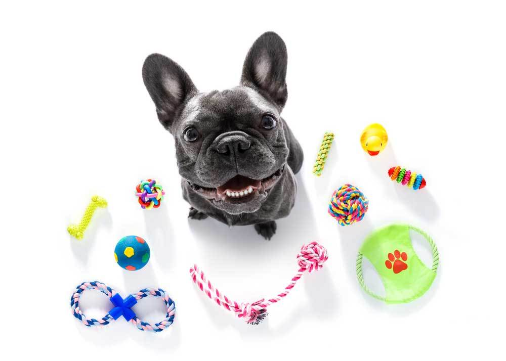 Boston terrier surrounded by toys