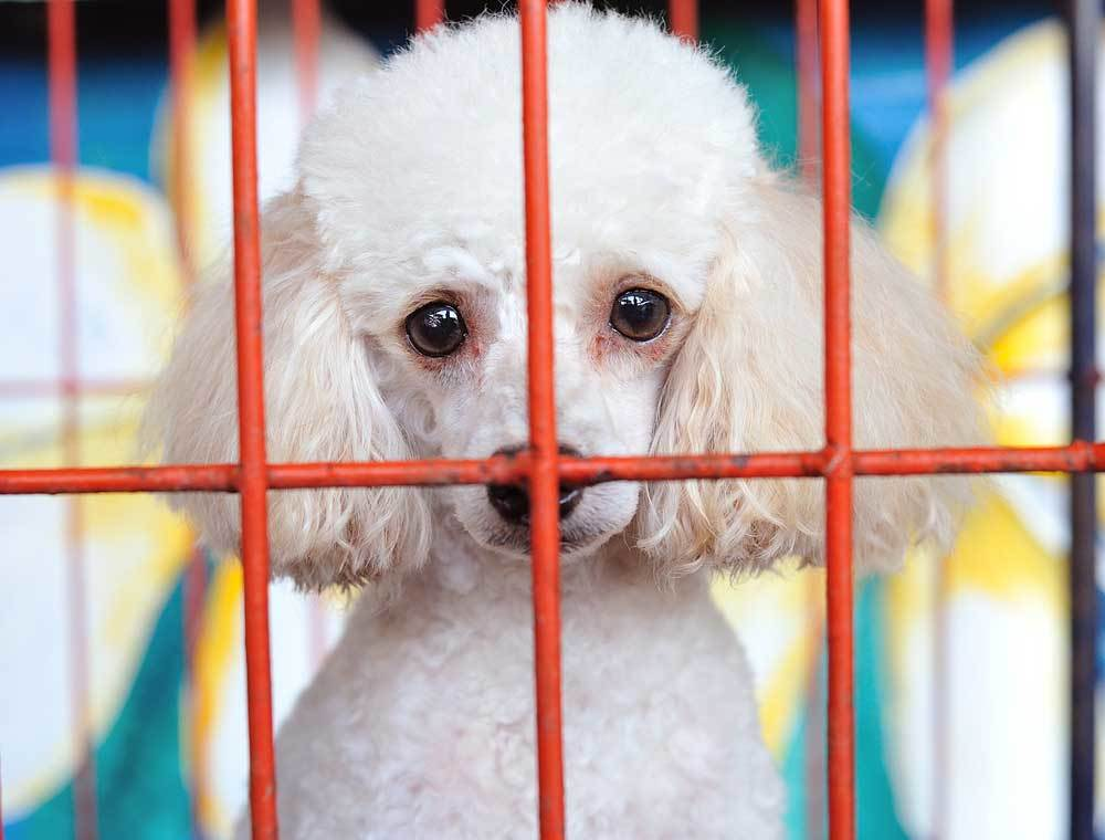 toy poodle in crate