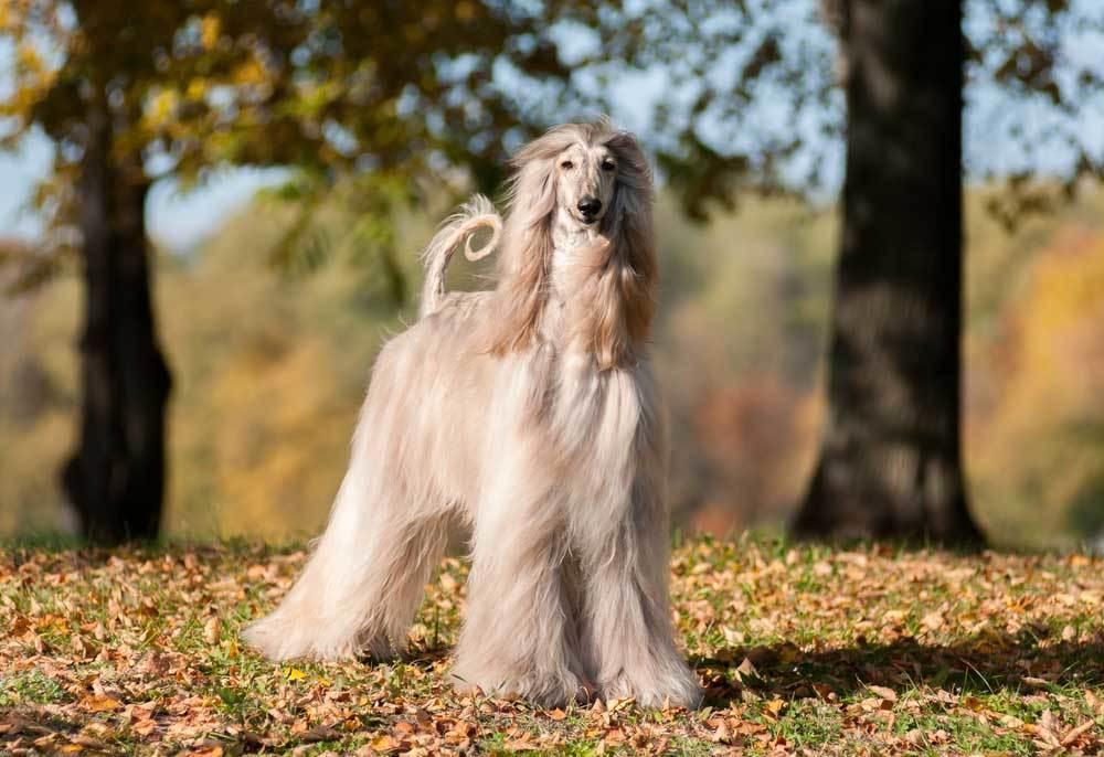 Afghan Hound in nature setting
