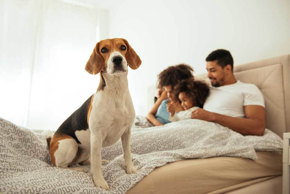Beagle with family on bed