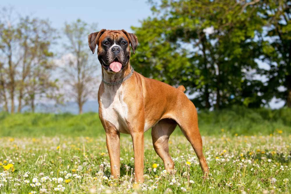 Boxer standing in grass and wildflowers