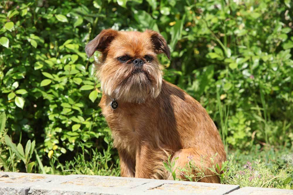Brussels Griffon in natural setting