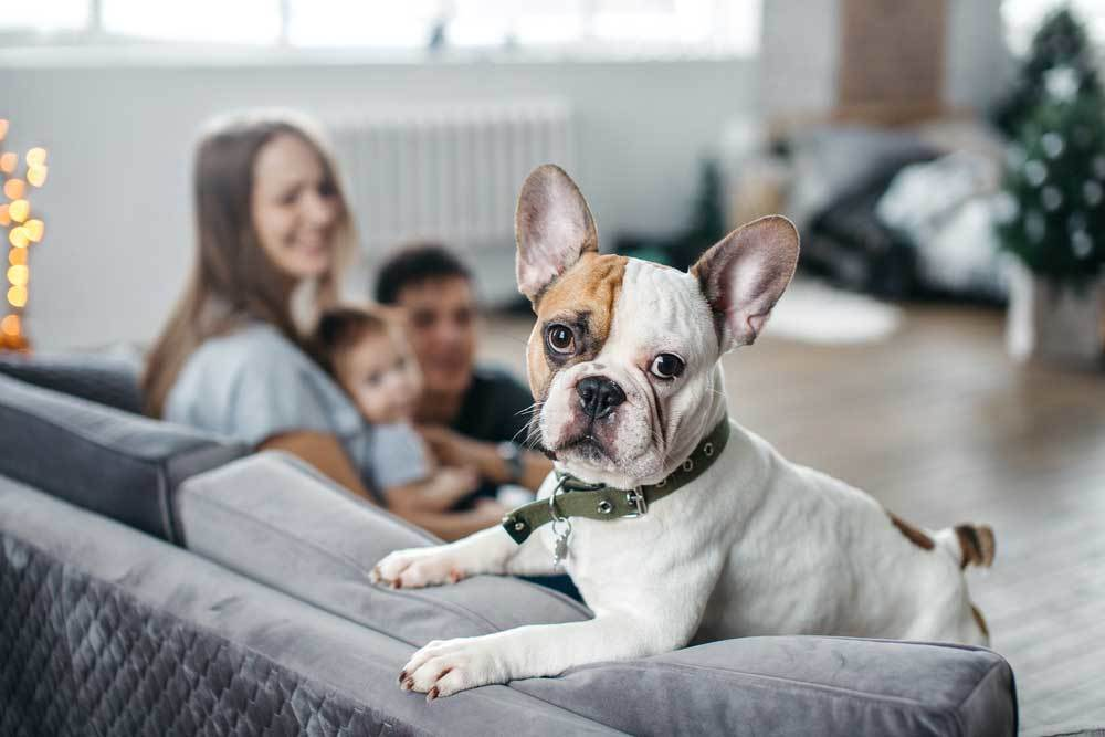 Bulldog on couch with family