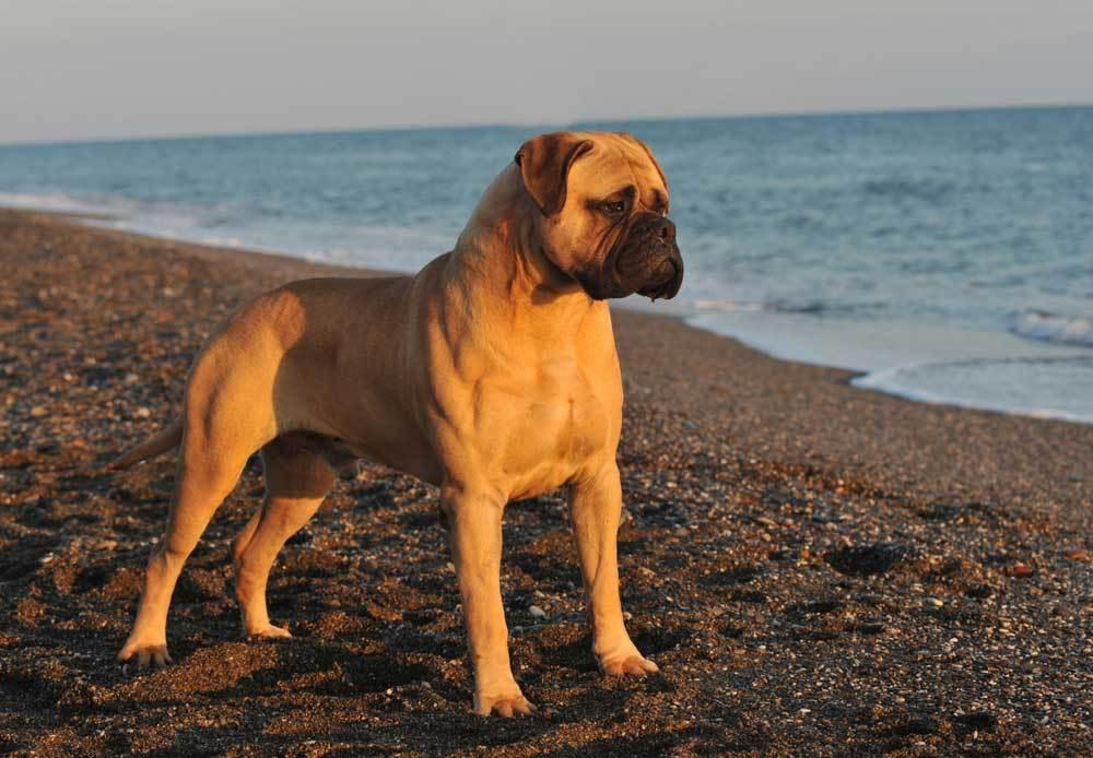Bullmastiff standing on a beach