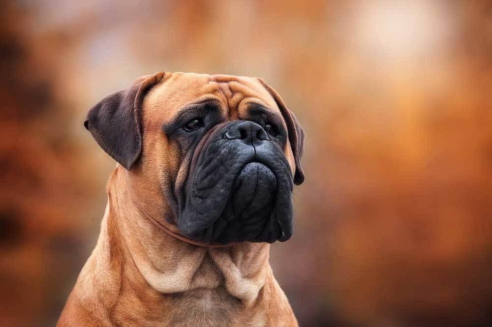 Portrait of a Bullmastiff