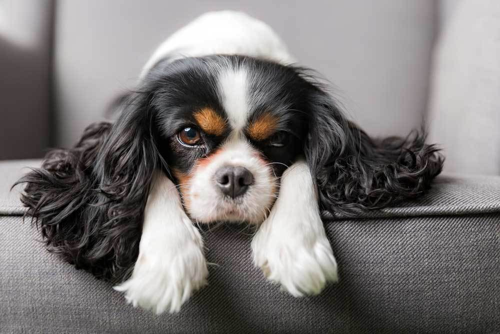 Cavalier King Charles Spaniel laying on edge of couch