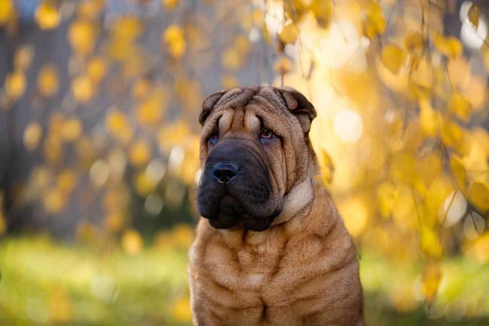 Chinese Shar-Pei with natural background.
