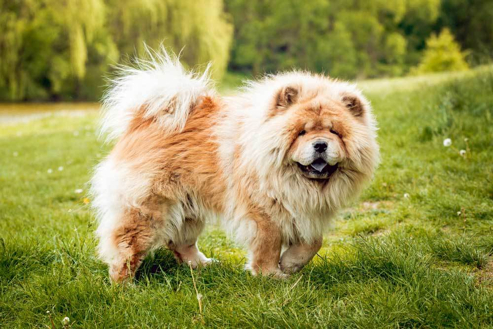 Chow Chow standing in grass