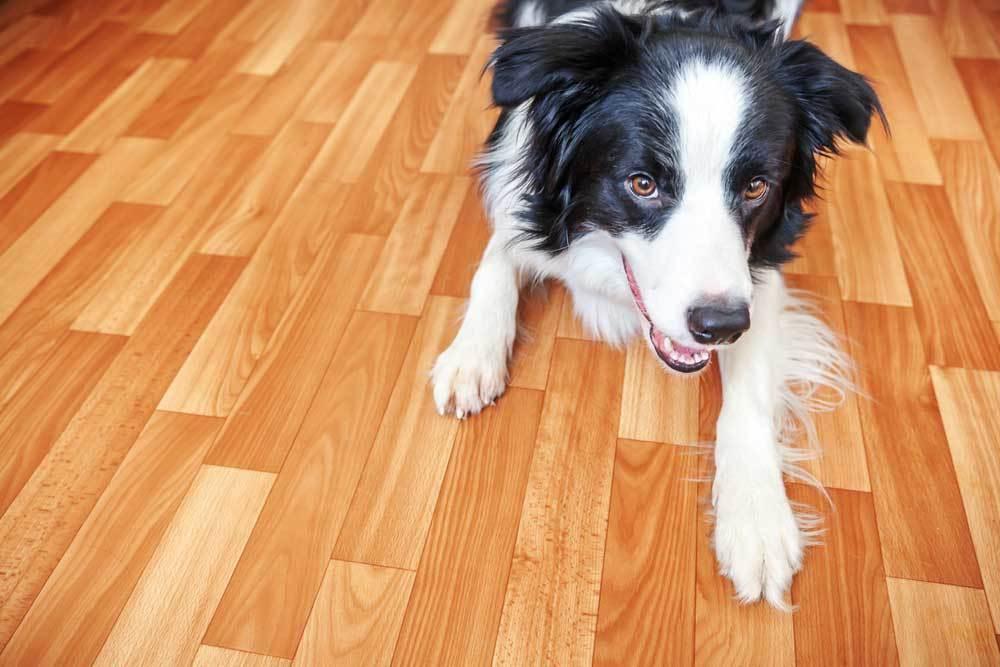 Collie laying on hardwood floor