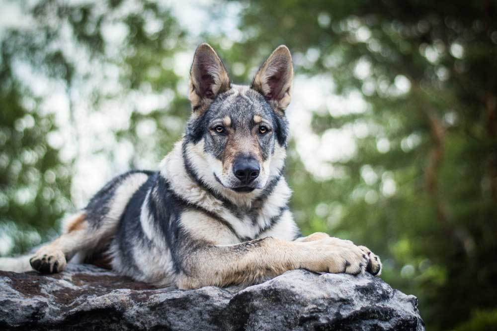 Czech Wolfdog laying on boulder in nature