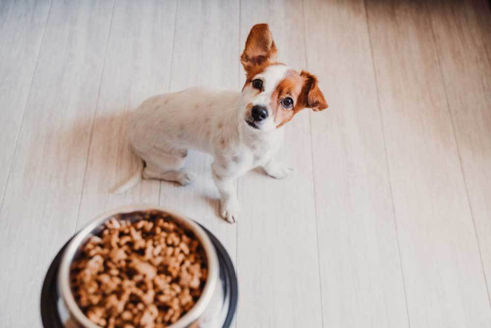 Jack Russell Terrier waiting to be fed