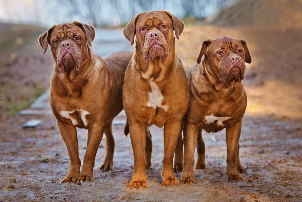 a trio of Dogue de Bordeaux standing on a muddy path