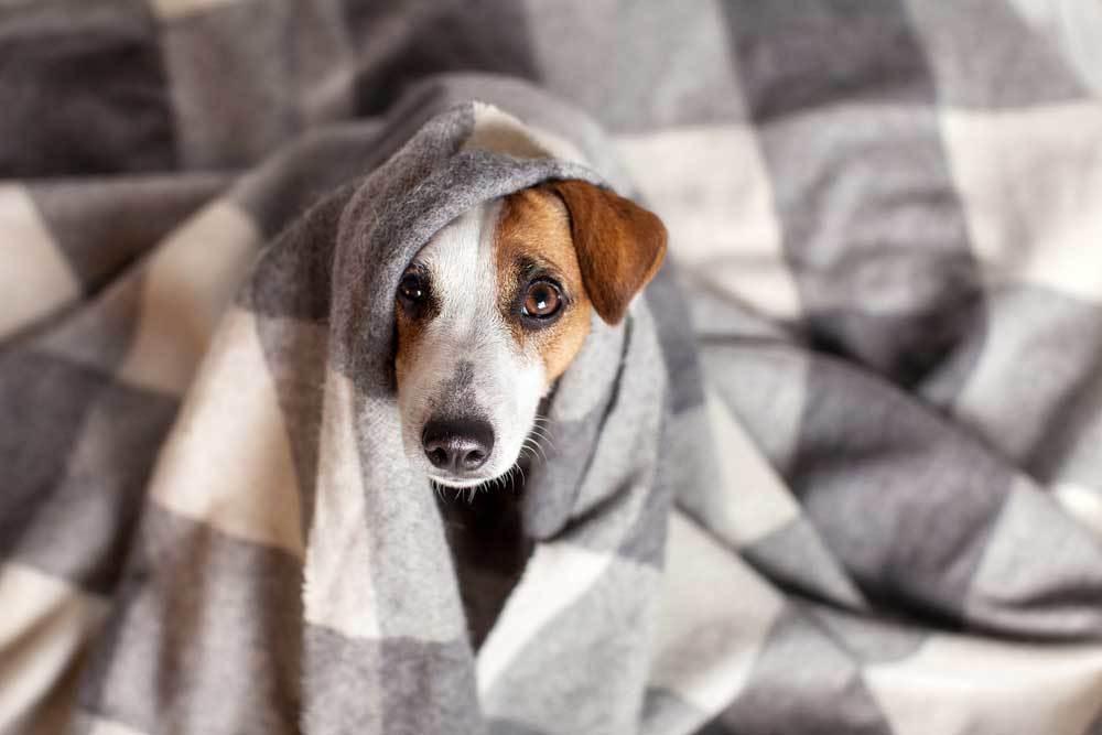 Jack Russell Terrier under Blanket