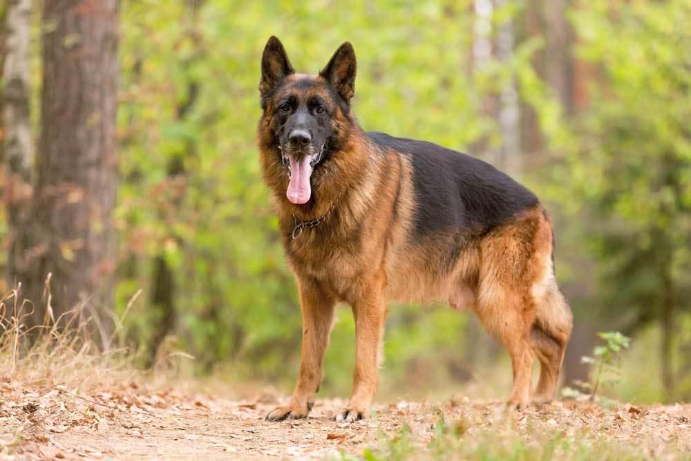 German Shepherd on a wooded path