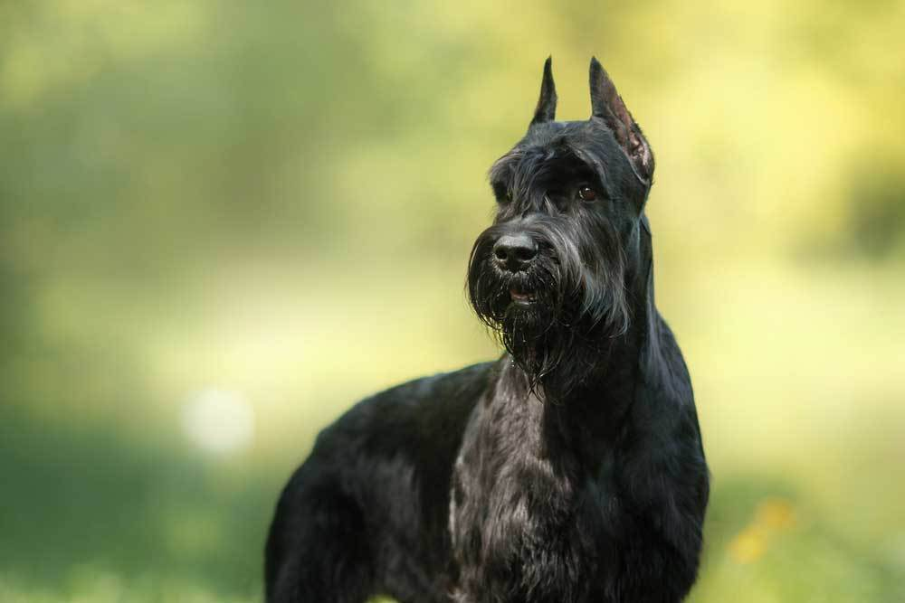 Giant Schnauzer on natural background