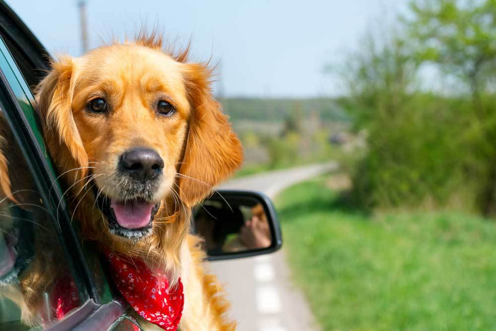 Golden Retriever with head hanging out of car window