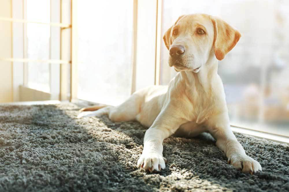 Healthy labrador puppy sitting in front of a window.