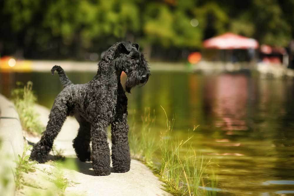 Kerry Blue Terrier standing at edge of pond