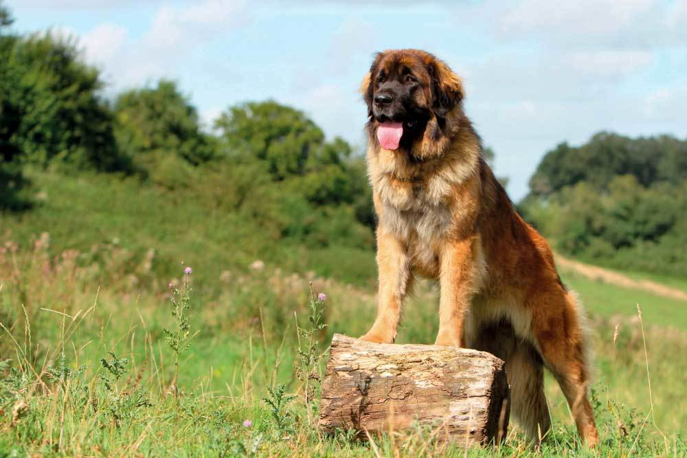 Leonberger in grass field standing with front paws on a log