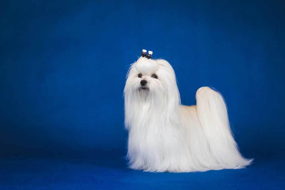 Groomed Maltese on blue background