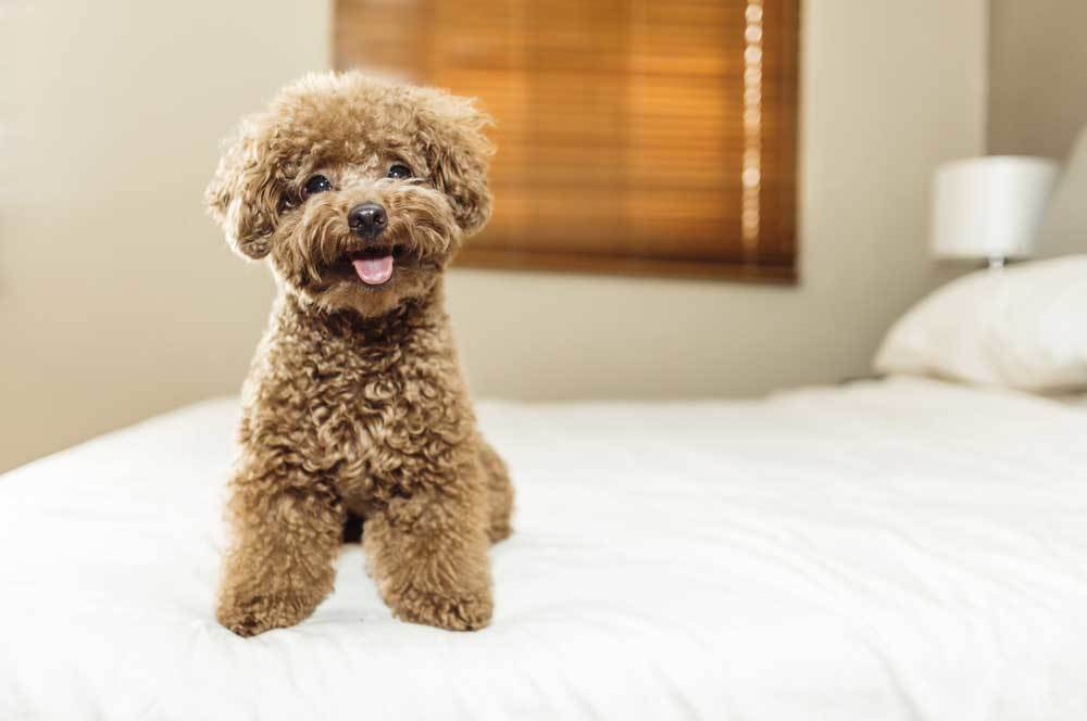 Poodle sitting on foot of bed