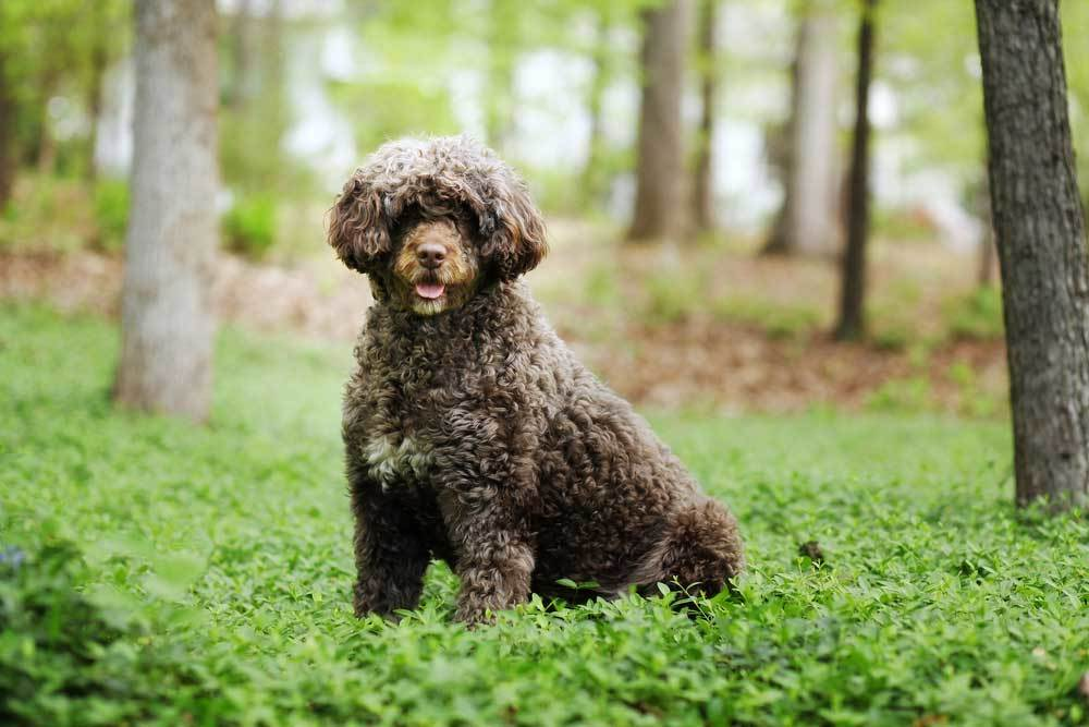 Portuguese Water Dog sitting in woodland setting