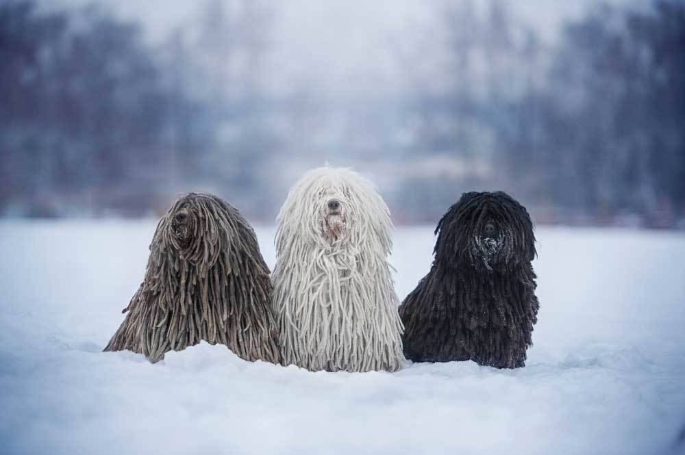 3 Puli sitting in snow