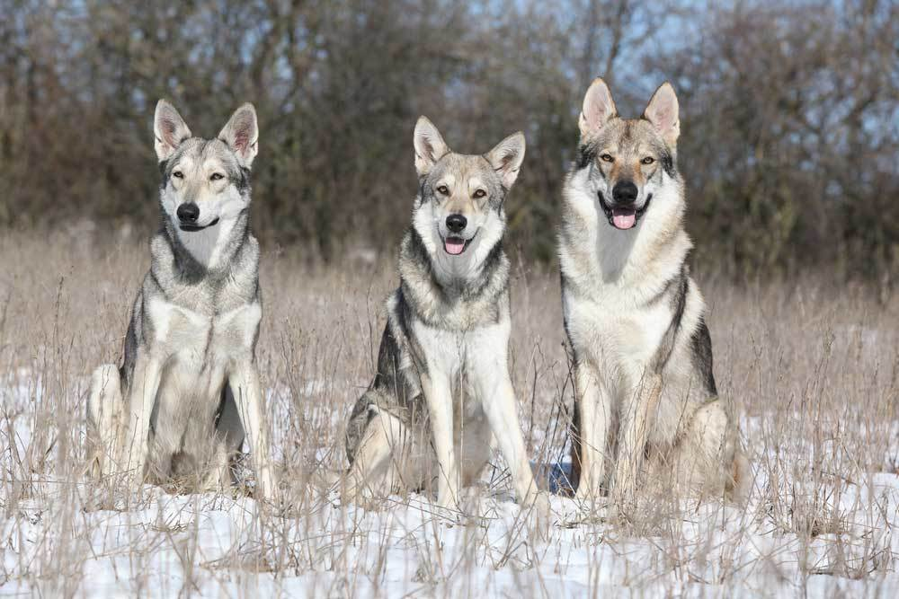 Saarlos Wolfdogs in a snowy field