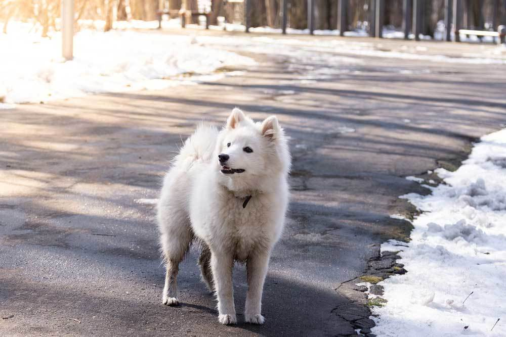 Samoyed walking on road with snow on sides