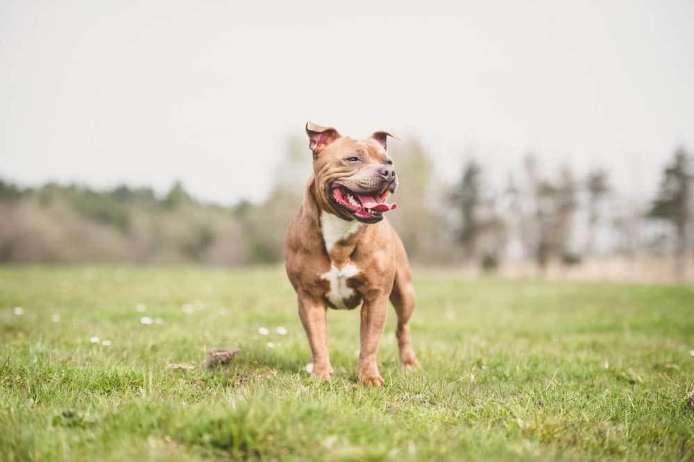 Staffordshire Bull Terrier standing in grassy field