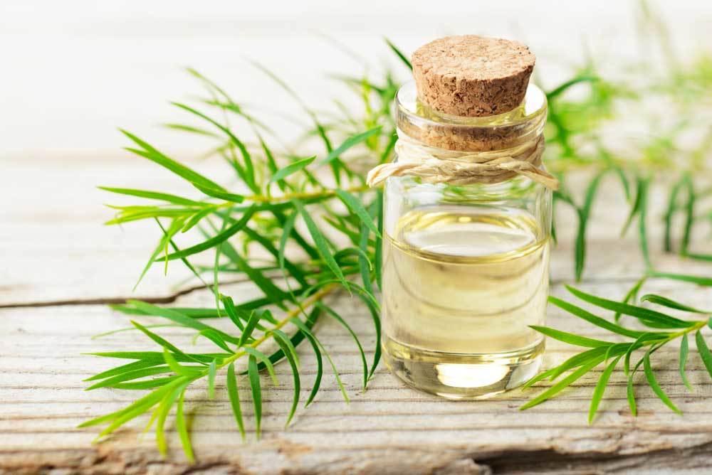 Tea Tree Oil and plant on wood background