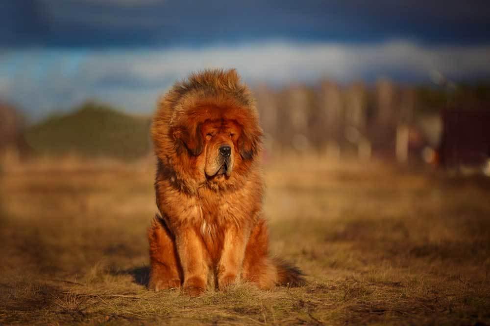 Tibetan Mastiff in a nature setting