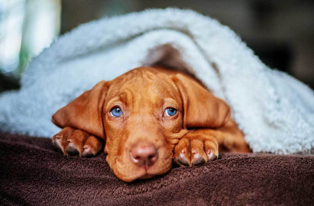 Vizsla puppy in bed partially covered with blue blanket