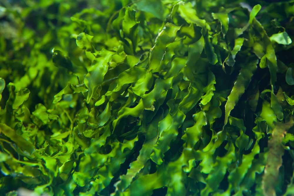 close up of wild seaweed