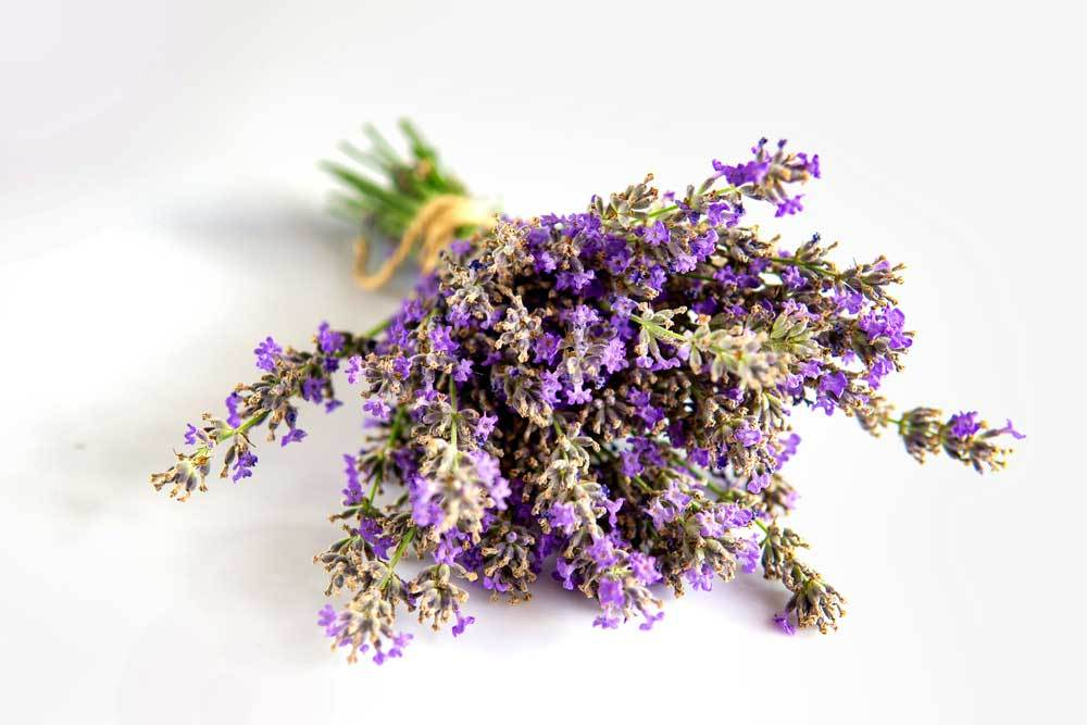 bundle of Lavender tied with twine on white background