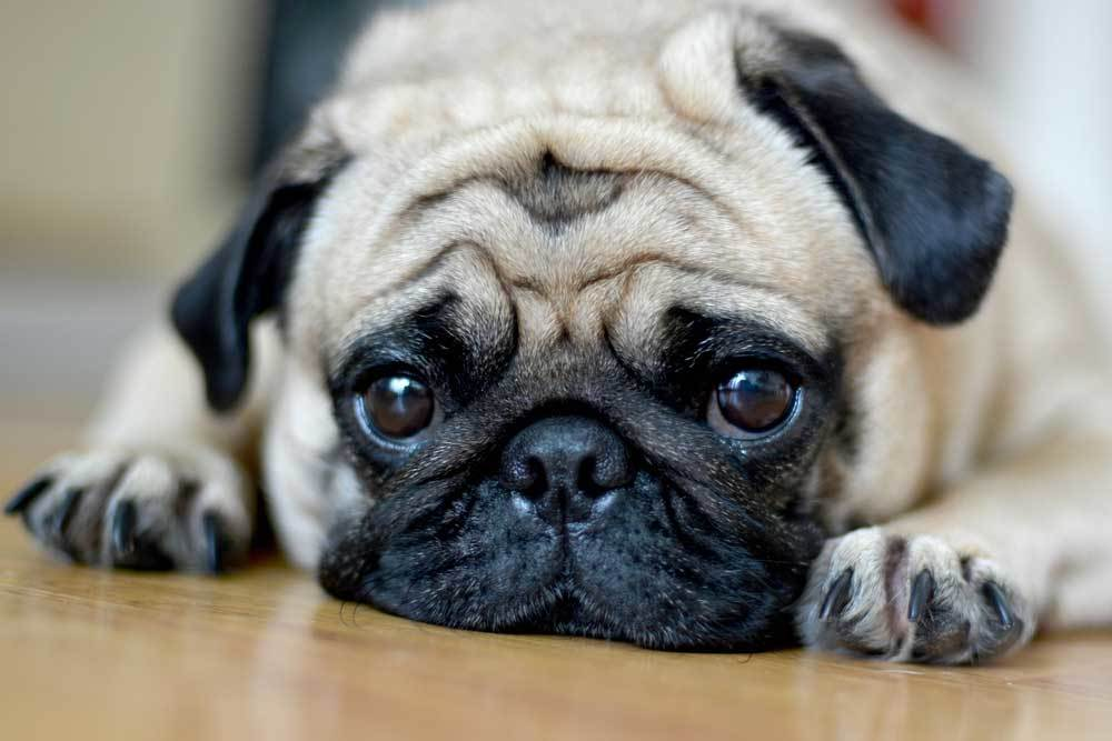 Pug with head down on hardwood floor