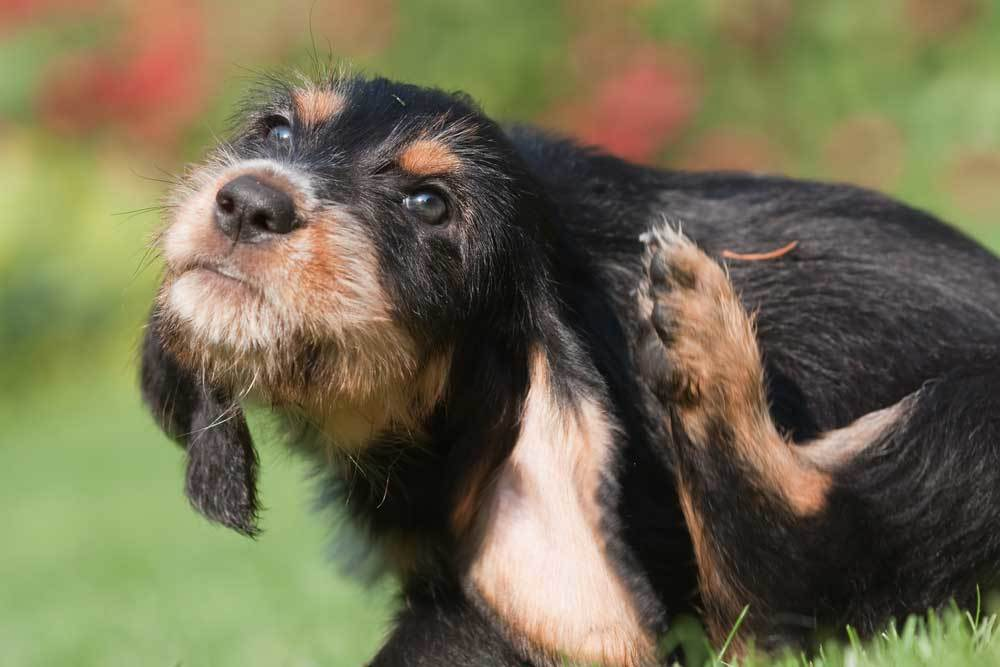 scruffy black and brown dog scratching his ear