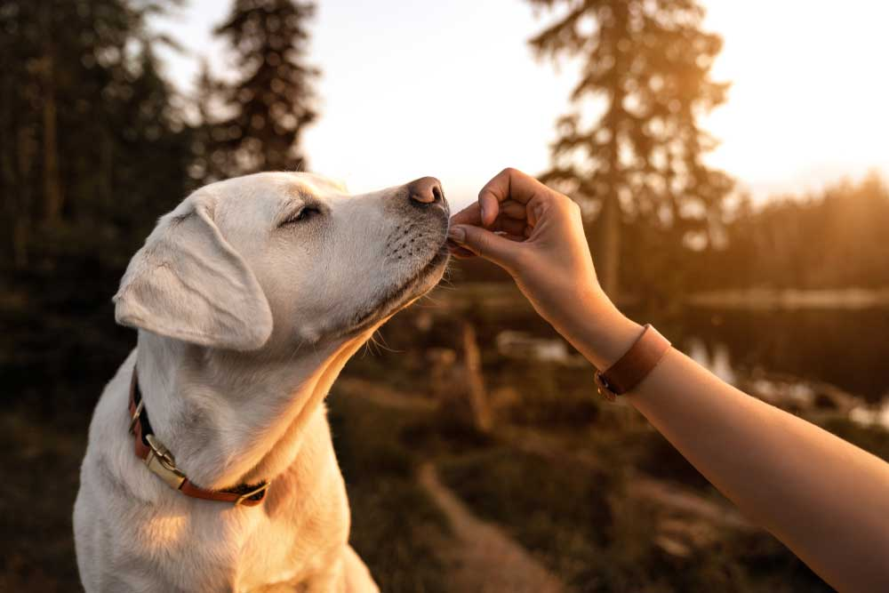 yellow labrador begin given a treat by human hand outside in nature.