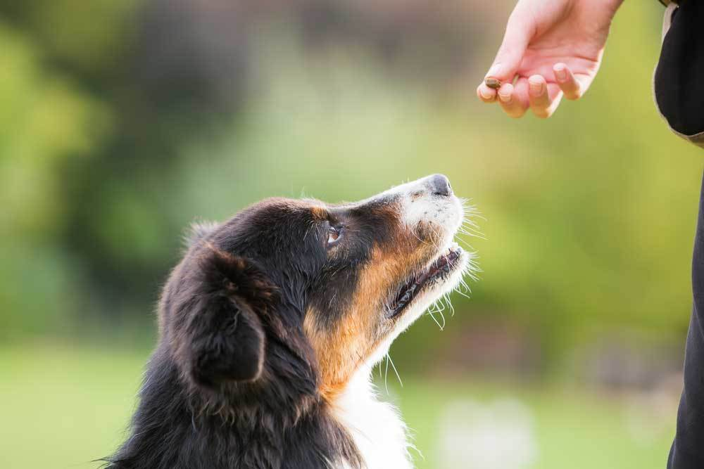 Black, brown and white dog receiving a treat from a human hand