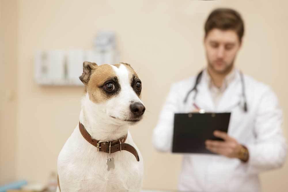 Jack Russell Terrier at Vet looking shocked