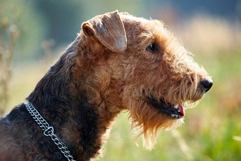 Closeup of Airedale Terrier in nature setting