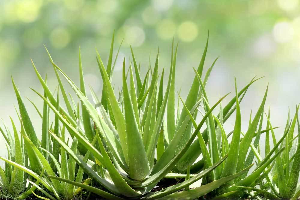 Aloe Vera plants on a blurred background