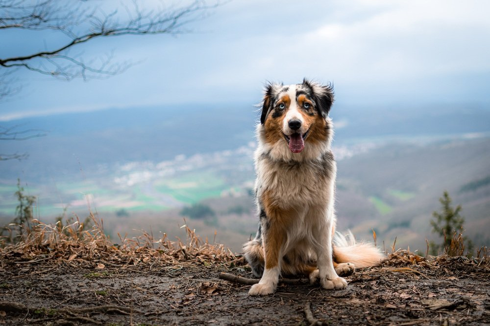 Australian Shepherd standing on hill top with blue sky in background.