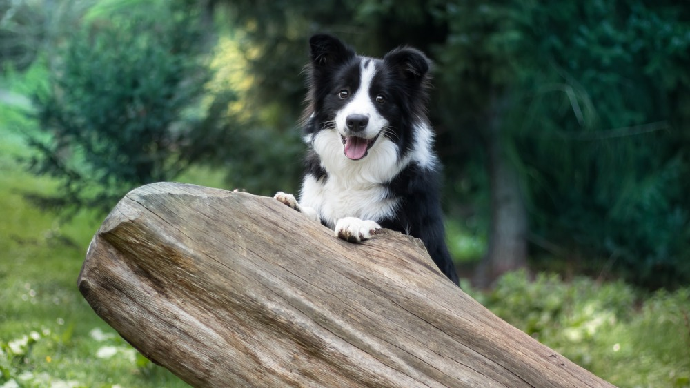 Border Collie with front paws on a fallen tree.
