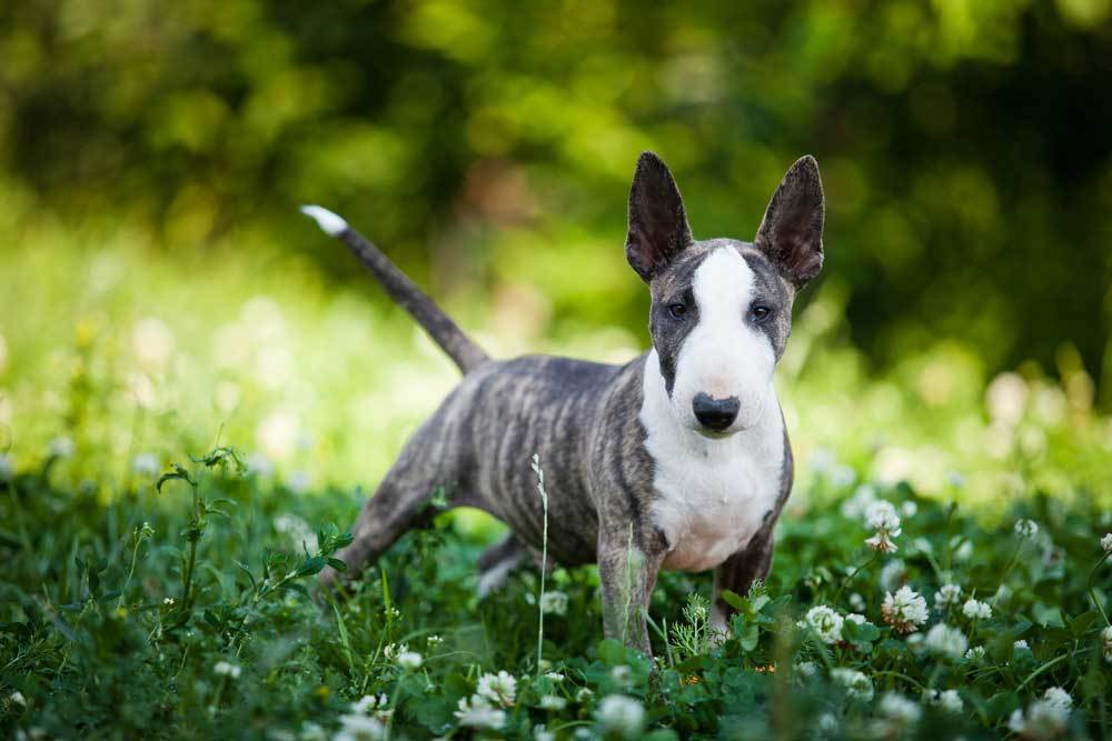 Bull Terrier in tall grass and clover