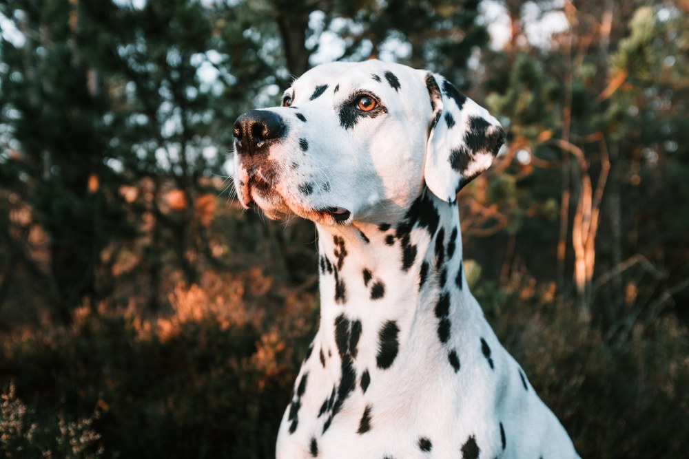 Close up of Dalmatian with trees in background