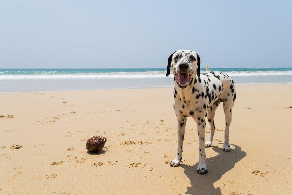 Dalmatian standing on sandy beach