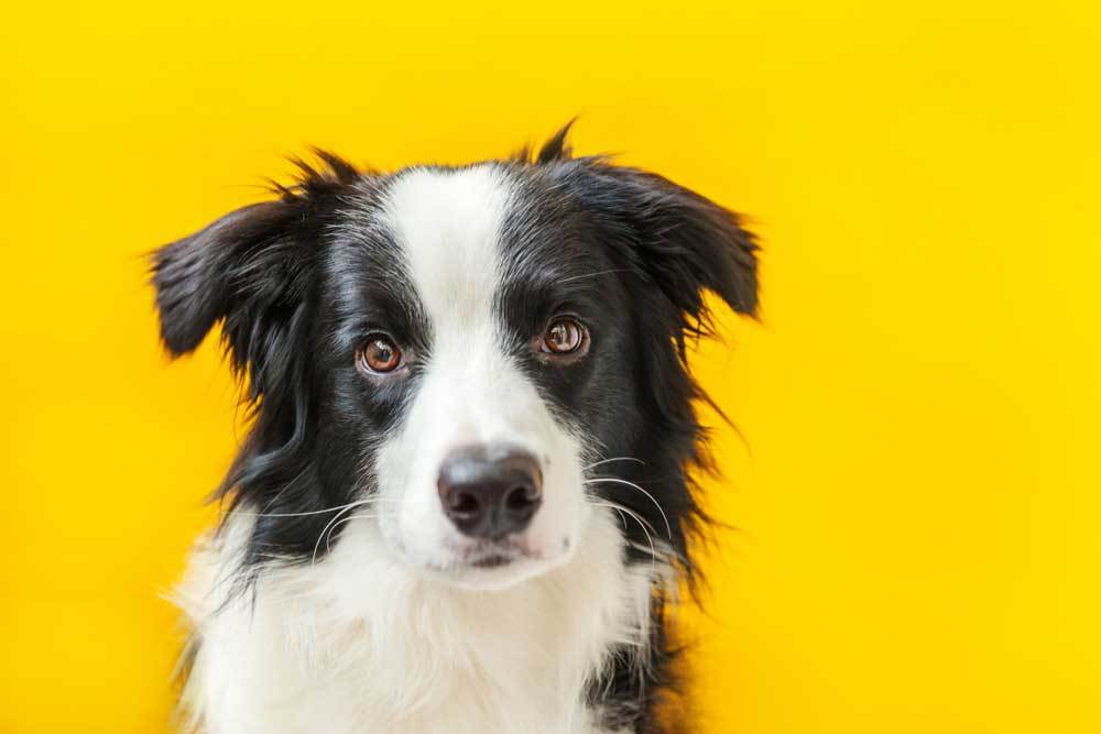 Black and white dog on yellow background